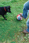 Man playing ball with a black labrador in the park
