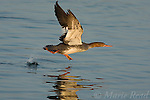 Red-breasted Merganser (Mergus serrator), female taking flight from water, Bolsa Chica Ecological Reserve, California, USA