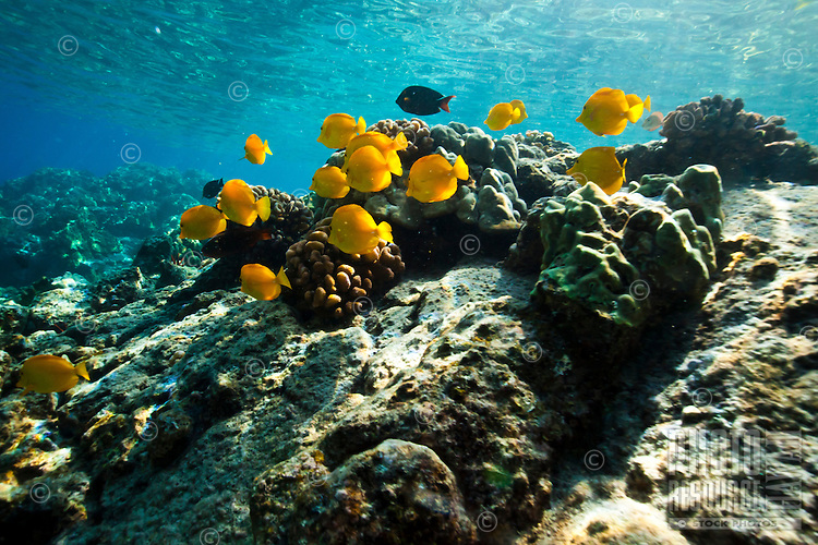 A school of yellow and achilles tang feeding in the sunlit waters of Kealakekua Bay, Big Island