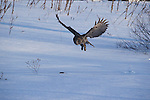 Great gray owl catching mouse Strix nebulosa hunting<br />