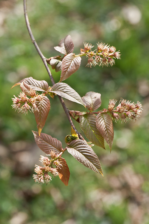 Unusual petal-free flowers and coppery pink young leaves of Maddenia hypoleuca, a small tree from China, late March. Sometimes known as Madden cherry - after Colonel Edward Madden, (1805-56), of the Bengal Artillery, who sent seed collected in the high Himalayas between 1841 and 1849 to the botanical garden at Glasnevin in Dublin, Ireland. [rogerstreesandshrubs.com]