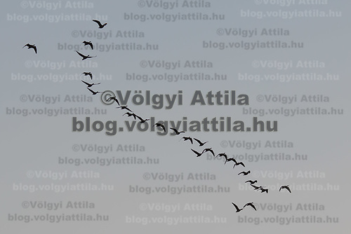 Cranes (Grus grus) fly over the Great Plain of Hortobagy (about 180 kilometres East of capital city Budapest), Hungary on Oct. 12, 2017. ATTILA VOLGYI