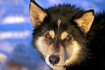 Animais. Mamiferos. Cães. Cão Alaskan husky. Foto de Luciana Whitaker.