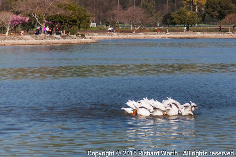 A pod of American White Pelicans, in unison, 'tips', like dabbling ducks, at Lake Elizabeth in Fremont, California.