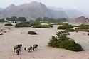 Namibia;  Namib Desert, Skeleton Coast,  desert elephant breeding herd (Loxodonta africana) walking in dry river bed