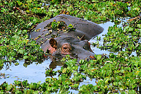 Common Hippopotamus (Hippopotamus amphibius), Masai Mara National Reserve, Kenya