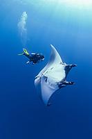 giant oceanic manta ray, Manta birostris, and woman scuba diver, San Benedicto, Revillagigedo Islands, Mexico, Pacific Ocean