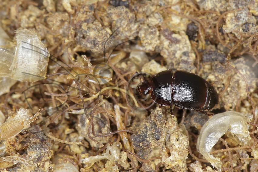 The Athina Tumida or Small Hive Beetle. The adult is dark brown to black and measures about 5.7mm long by 3.2mm wide. It can live up to six months. The beetles go into the hive, eat the brood and begin laying eggs.Their larvae develop within five days and eat the brood, pollen and honey before leaving the hive to go 5 centimeters below ground. Then the cycle continues. The beetles are born and fly up 5 kilometers looking for hives. ///Athina Tumida, Small Hive Beetle.  L'adulte est brun foncé à noir, mesure environ 5,7 mm de long sur 3,2 mm de large. Il peut vivre jusqu'à six mois. Les coléoptères s'installent dans la ruche, mangent le couvain et commencent leur ponte. Leurs larves se développent en cinq jours et dévorent couvain, pollen et miel avant de quitter la ruche pour s'enfoncer dans le sol à 5 cm de profondeur. Puis le cycle perdure. Les coléoptères naissent, volent jusqu'à 5 kilomètres à la recherche de ruches.