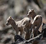 Bighorn Sheep lambs on a rocky hillside in Montana