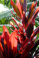Beautiful red ti leaves, a plant cherished  by the Hawaiians for its variety of uses