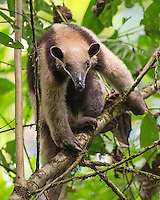 One of my favorite Costa Rican animals: the tamandua.  This beautiful creature is a tree-climbing anteater.