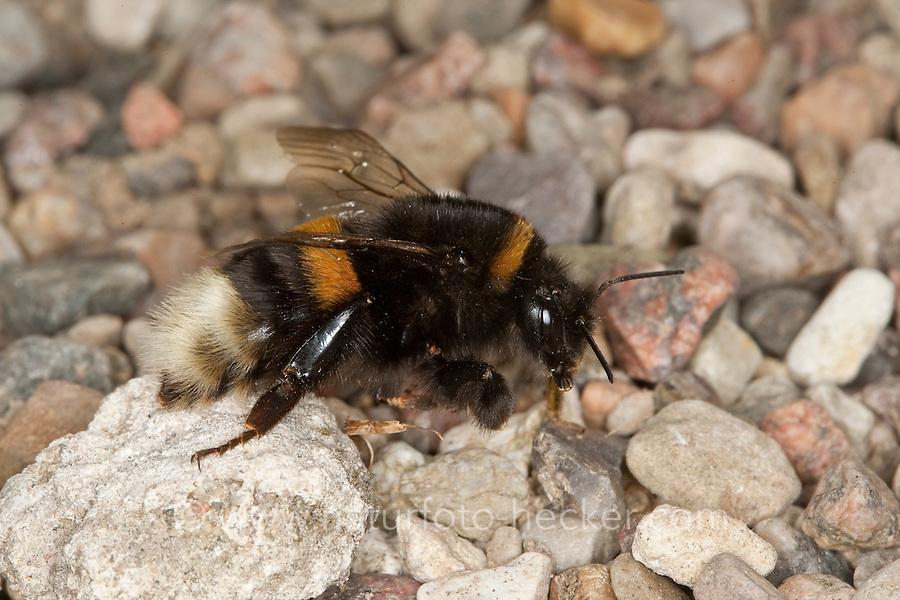 Dunkle Erdhummel, Bombus terrestris, buff-tailed bumble bee