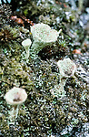 Lichen on rotting fallen forest timber, Abernethy forest Reserve Scotland. <br /> An old growth forest in the foothills of  the Cairngorms. Deep heather provides a home to a large biodiversity.
