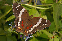 378590002 a wild banded peacock butterfly anartia fatima at  the naba site in mission hidalgo county lower rio grande valley texas united states