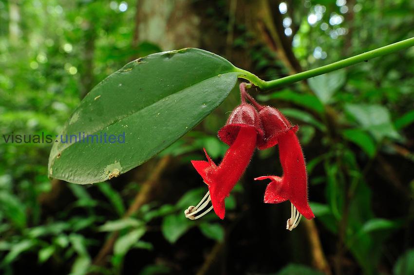 Lipstick Plant flowers (Aeschynanthus), Gesneriaceae, Gunung Leuser National Park, Northern Sumatra, Indonesia