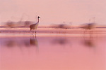 Sandhill cranes, New Mexico, USA