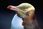 This yellow-eyed penguin on Enderby Island show its species' striking head coloration, New Zealand.