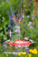 01162-12414 Ruby-throated Hummingbirds (Archilochus colubris) at feeder by flower garden, Marion Co.  IL