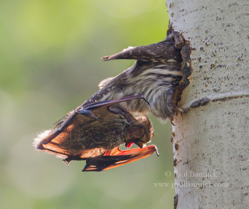 A Northern Pygmy-Owl drags a screaming Hoary Bat into the nest the nest cavity to feed the young. (Colorado)