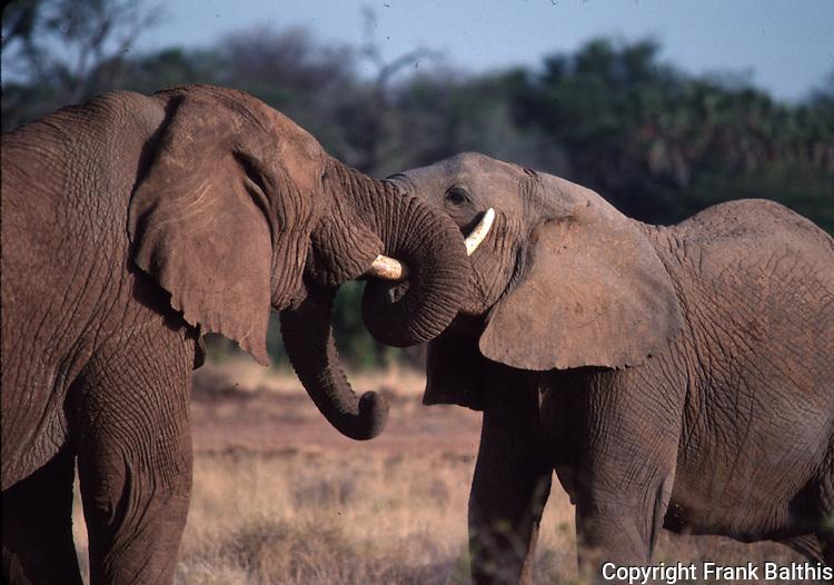 african elephants, courtship