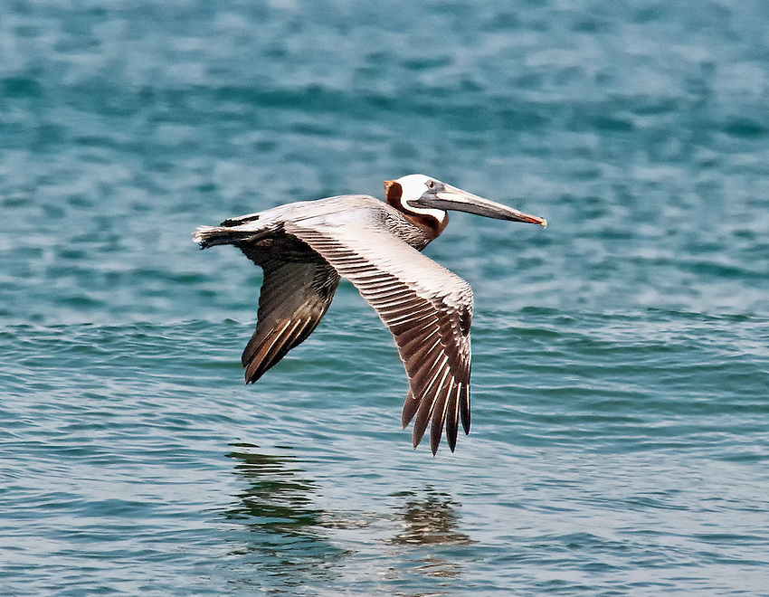 Brown pelican flying low over the ocean off the beach in the Outer Banks