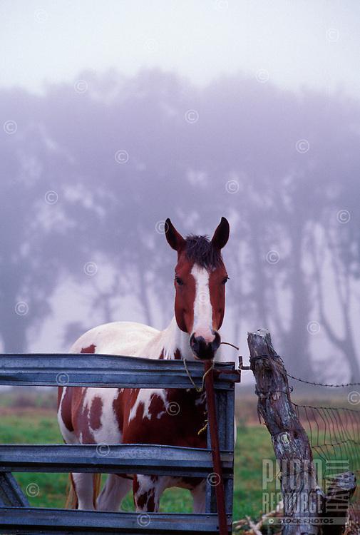A horse in misty landscape, Waimea