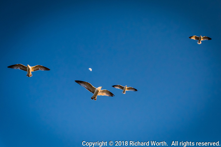 A group of gulls glides over a path at the San Leanro Marina Park under the first quarter moon.
