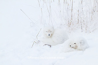 01863-01405 Two Arctic Foxes (Alopex lagopus) in snow Chuchill Wildlife Mangaement Area, Churchill, MB Canada