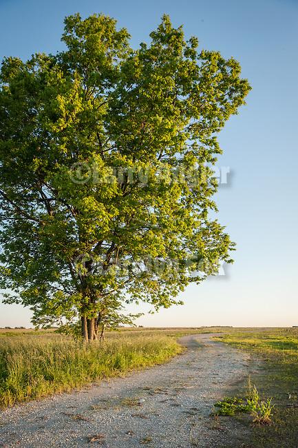 Tree and farm road, morning, Rescue, Missouri