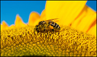 BNPS.co.uk (01202 558833)<br /> Pic: PhilYeomans/BNPS<br /> <br /> Summers here - If only for one day!<br /> <br /> Bee's making the most of the blooming sunflowers.<br /> <br /> A pick your own sunflower farm near Christchurch in Dorset was expecting a rush of secateur wielding customers today, as the wet summer holiday weather finally relented...more rain is however forecast for next week.