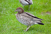 Australian Wood Duck female, Botanical Gardens, Sydney
