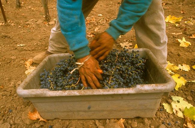Grapes picked into indivual boxes then carried to one-half ton boxes for transport to the winery