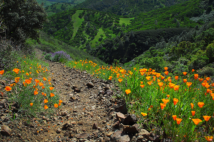Poppies, Mt. Diablo State Park