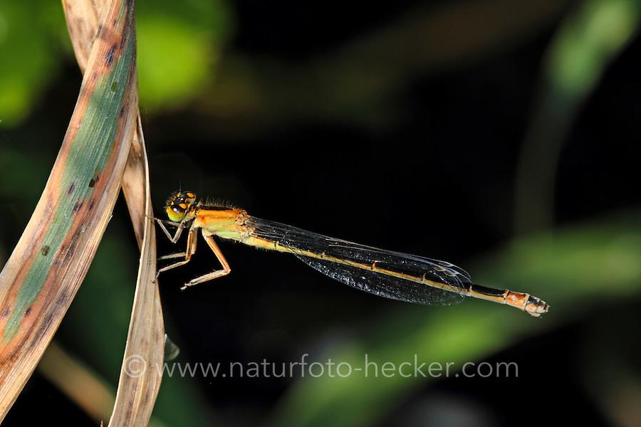 Große Pechlibelle, Weibchen, Pech-Libelle, Ischnura elegans, common ischnura, blue-tailed damselfly, Common Bluetail, female, Agrion élégant