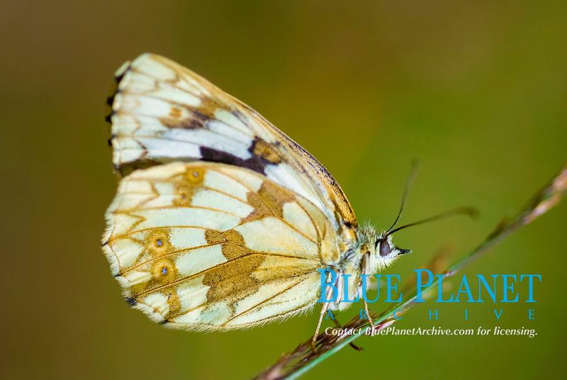 Female iberian marbled white butterfly (Melanargia lachesis)