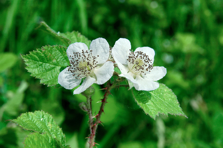 BRAMBLE Rubus fruticosus agg. (Rosaceae) Height to 3m<br /> Scrambling shrub that comprises hundreds of microspecies. Arching stems are armed with variably shaped prickles and root when they touch the ground. Found in hedgerows and scrub. FLOWERS are 2-3cm across and white or pink (May-Aug). FRUITS are familiar blackberries. LEAVES have 3-5 toothed leaflets. STATUS-Widespread and common.