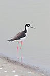 Black-necked Stilt, Bolsa Chica Wildlife Refuge, Southern California