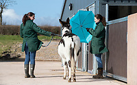 BNPS.co.uk (01202) 558833. <br /> Pic: CorinMesser/BNPS<br /> <br /> Passing a person holding an umbrella is a real life situation donkeys encounter at the 'finishing school'.  <br /> <br /> A donkey sanctuary is running its own 'finishing school' to help the animals adjust to the outside world once they are re-homed.<br /> <br /> The 12 week program, initiated by The Donkey Sanctuary in Sidmouth, Devon, is believed to be the first of its kind in Britain.<br /> <br /> Activities include walking under bunting, navigating traffic cones and getting used to people carrying umbrellas.<br /> <br /> There are also tutorials on feeding, grooming and handling for the donkeys' prospective guardians.<br /> <br /> The initiative started in November 2019, with a current intake of 31 donkeys. Eight donkeys having already gone to homes.