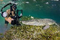 Diver photographing an American Crocodile, crocodilus acutus, at Banco Chinchorro Atoll, Quintana Roo, Southeastern Mexico. Caribbean Sea.