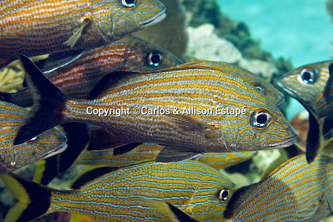 Haemulon carbonarium, Caesar grunt, Florida Keys