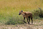 Africa  Kenya Masai Mara  SpottedHyena