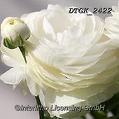 Gisela, FLOWERS, BLUMEN, FLORES, photos+++++,DTGK2422,#f#, EVERYDAY ,portrait