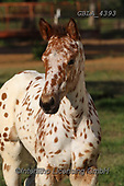 Bob, ANIMALS, REALISTISCHE TIERE, ANIMALES REALISTICOS, horses, photos+++++,GBLA4393,#a#, EVERYDAY