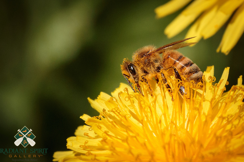 """""""Honey Bee on Dandelion"""" - Honey bees gather pollen and nectar from dandelions. She has pollen covering much of her body, especially her face and legs and underside. At some point she'll clean the pollen off her body and pack it into the pollen baskets on her hind legs to transport it back to the hive."""