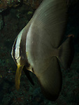 Batfish, Orbic batfish, Platax orbicularis