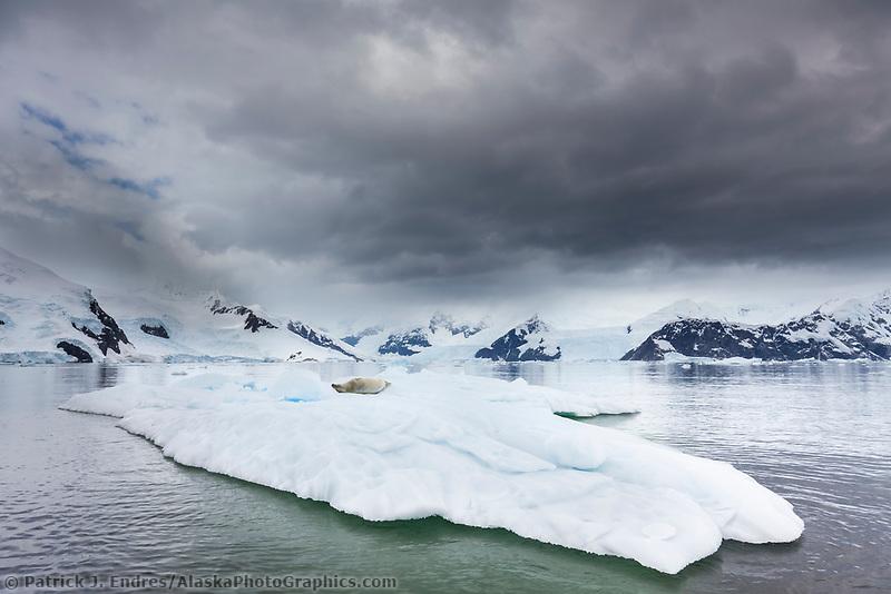 Crabeater seal on ice berg, Neko Harbor, Andvord Bay, Antarctica.