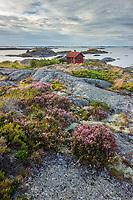Ljungen blommar på Ut-Fredel i Stockholms skärgård/ Stockholm archipelago Sweden