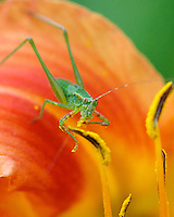 A Grasshopper Enjoying Daylily Pollen