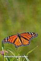 03536-04815 Monarch Butterfly (Danaus plexippus) male on Swamp Milkweed (Asclepias incarnata) Marion Co., IL