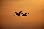 A pair of White Pelicans fly silhouetted against the orange sunset sky in Southern California.